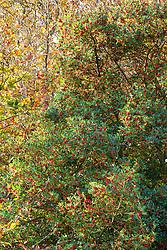 Holly tree in berry in the hedgerow of a Devon lane. Ilex aquifolium