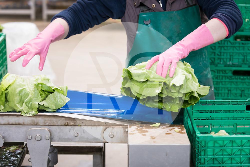 SCHWEIZ - NIEDERBIPP - Eine Mitarbeiterin bei der Verpackung von Kopfsalaten bei Bösiger Gemüsenkulturen AG - 21. Juni 2019 © Raphael Hünerfauth - http://huenerfauth.ch