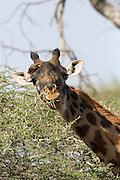 Giraffe with Ox-pecker bird in African habitat