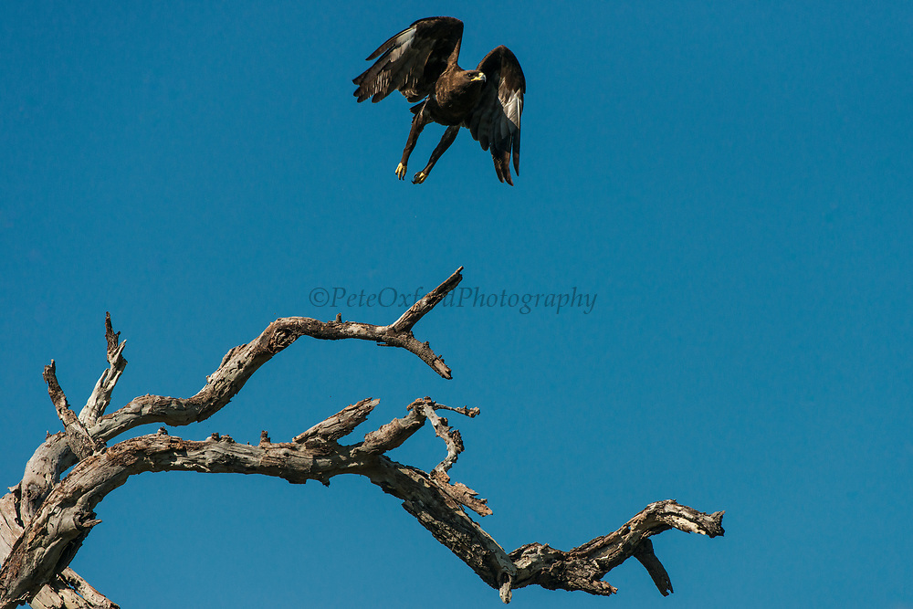 Wahlberg's eagle (Aquila wahlbergi)<br /> Marataba, A section of the Marakele National Park<br /> Limpopo Province<br /> SOUTH AFRICA