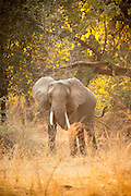 An adolescent African Bull Elephant, Luangwa River Valley, Zambia, Africa