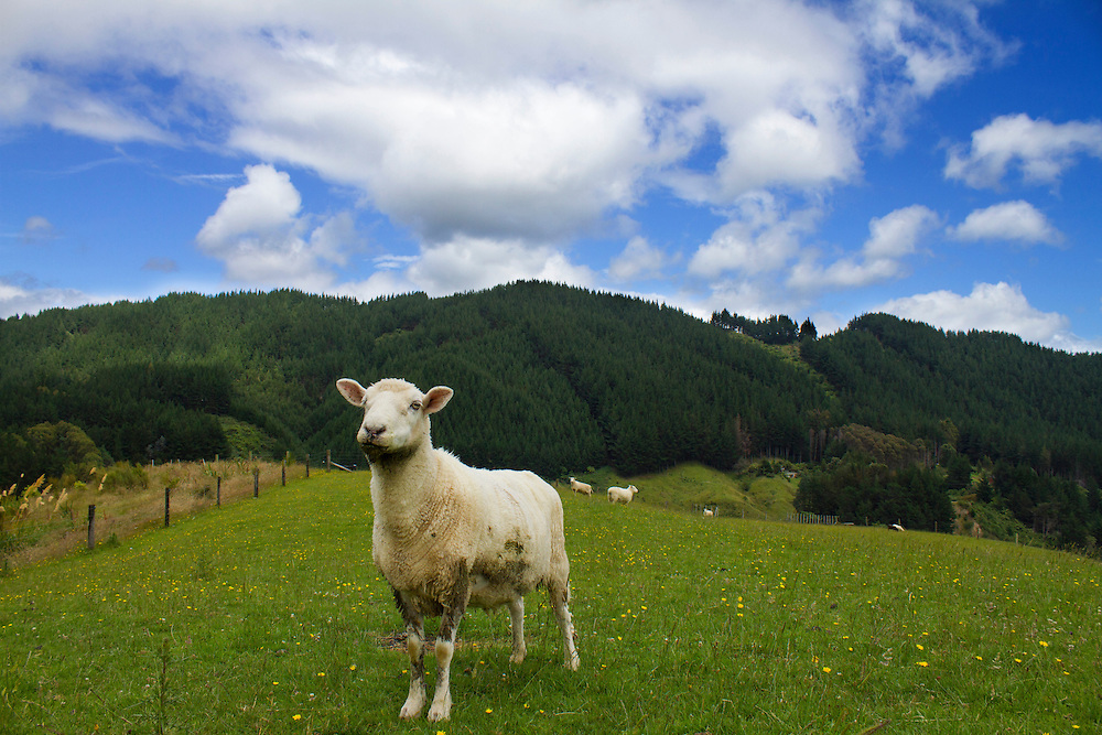 Mossbeard only has half a tongue, so makes a mess of any visitors who come to fuss him! Black Sheep Farmed Animal Sanctuary, near Wellington, New Zealand