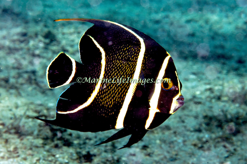 French Angelfish inhabit reefs and sandy areas in Tropical West Atlantic; picture taken Blue Heron Bridge, Palm Beach, FL.