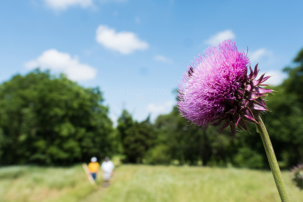 Hikers walking past purple thistle, Big Spring historical and natural area, Great Trinity Forest, Dallas, Texas, USA