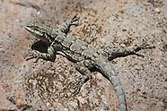 Ornate Tree Lizard, Urosaurus ornatus