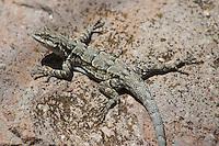 Ornate tree lizard, Urosaurus ornatus.  Sycamore Canyon, Coronado National Forest, Arizona