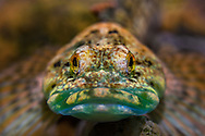 Knobfin Sculpin<br /> <br /> Isaac Szabo/Engbretson Underwater Photography