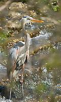 Great Blue Heron, Ardea herodias, at Sacramento National Wildlife Refuge, California