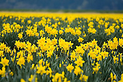 Daffodils grow in a field in Skagit Valley, Washington. Skagit Valley is a fertile agricultural region famous for its daffodil and tulip farms.