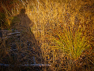 a man's shadow rests near rushes in a meadow on the Kitsap Peninsula in Puget Sound, WA