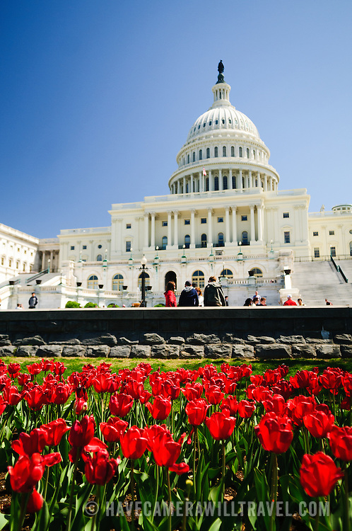 US Capitol Building with spring tulips and clear blue sky. Shallow depth of field with focus on the red tulips.