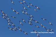 00671-01013 American White Pelicans (Pelecanus erythrorhynchos) group in flight Clinton Co. IL
