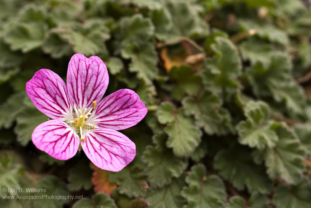 Pink Alpine - Tasmania