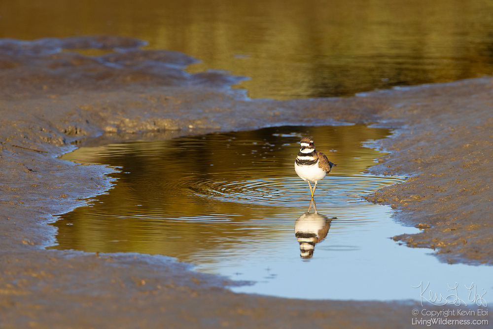 A killdeer (Charadrius vociferus) poses with its legs crossed in a pool of water left behind at low tide in the Stillaguamish River along Leque Island, Washington.