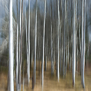 Aspen trees are the most widely distributed tree species in North America, ranging from Alaska to Newfoundland and down the Rocky Mountains to Mexico. The largest natural acreage of aspens in the world occurs in Utah and Colorado.  Know for their usually thin diameter and white bark, aspens are a pioneer tree after fires, landslides, logging, and disasters. They colonize disturbed areas, usually at the sunny edges of forests and meadows.
