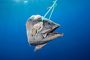 Tuna head, or chum,  used for luring sharks for shark diving offshore Pico Island, Azores, Portugal, North Atlantic Ocean.