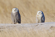 Two snowy owls (Nyctea scandiaca) rest on a log at Damon Point in Ocean Shores, Washington. Owls typically rest during the day and hunt at night. Used to the open tundra, however, snowy owls rest on the ground, rather than on high perches. Snowy owls, which spend the summer in the northern circumpolar region north of 60 degrees latitude, have a typical winter range that includes Alaska, Canada and northern Eurasia. Every several years, for reasons still unexplained, the snowy owls migrate much farther south in an event known as an irruption. During one irruption, a snowy owl was found as far south as the Caribbean. During the 2011-2012 irruption, Ocean Shores on the Washington coast was the winter home for an especially large number of snowy owls. Snowy owls tend to prefer coastal and plains areas, which most resemble the open tundra that serves as their typical home.