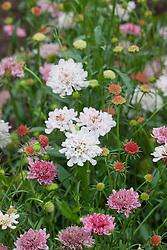Scabiosa atropurpurea 'Summer Sundae'. Scabious