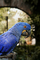 Mexican Blue Parrot