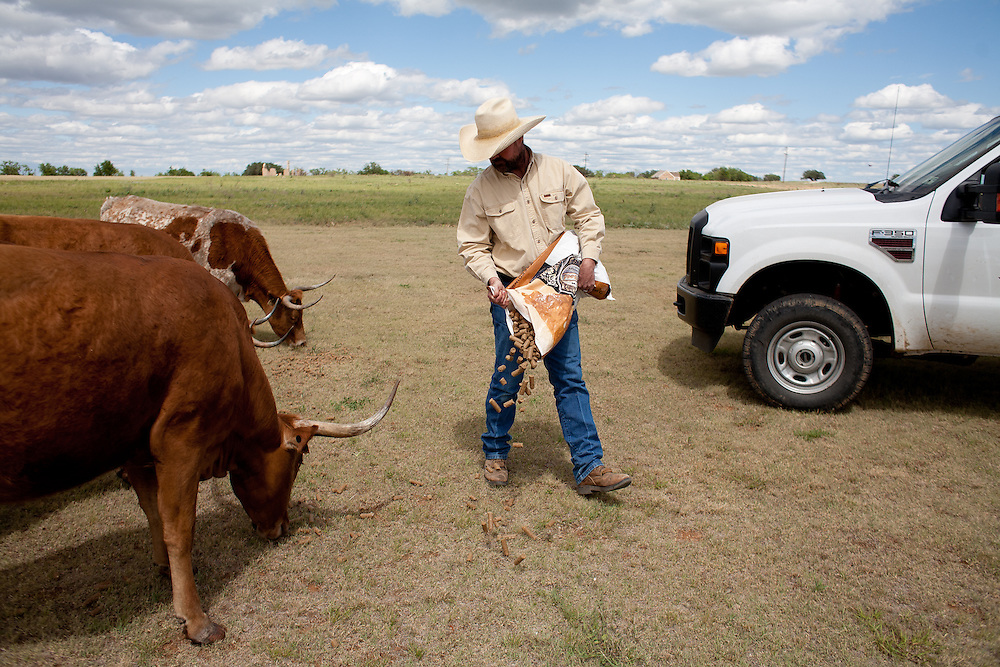 """Will Cradduck, manager of the official Texas Longhorn herd, walks among the cattle during feeding time at Ft. Griffin.<br /> <br /> Goodnight and Loving herded Texas longhorns on the trail. """"As trail cattle their equal has never been known and never will be,"""" said Goodnight of the breed. """"They can go farther without water and endure more suffering than others."""" Since 1948, Ft. Griffin has been home to the official Texas State Longhorn herd, retaining the genetic purity of the breed. The herd, now numbering over 250, roams the park and archaeological sites."""
