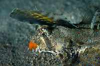 Fingered dragonet, Dactylopus dactylopus, is a species of marine fish in the family Callionymidae and prefers sandy or muddy substrates. Sharp Island or Kiu Tsui Chau (Chinese: 橋咀洲) is the largest island in the Kiu Tsui Country Park located at Port Shelter of Sai Kung, Hong Kong, China.<br /> This Image is a part of the mission Wild Sea Hong Kong (Wild Wonders of China).
