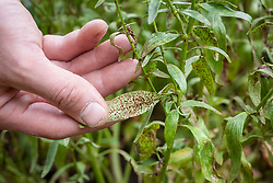 Checking for rust - Puccinia antirrhini - on antirrhinums - snapdragons
