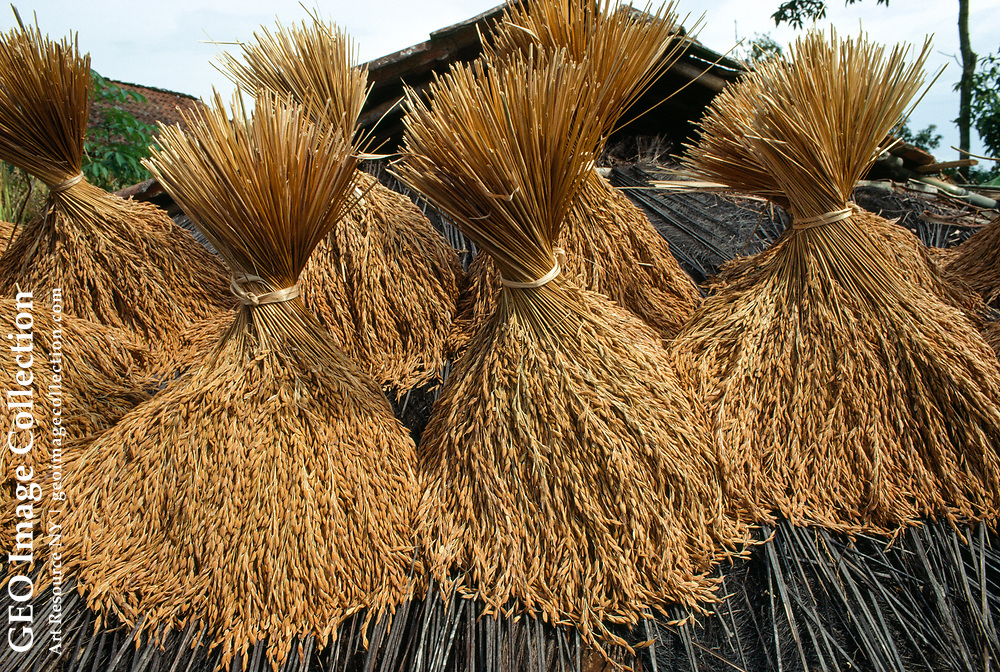 Rice is tied into bundles and set on a roof to dry.