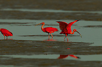 A group of Scarlet Ibises (Eudocimus ruber) foraging in the mudflats in the Orinoco River Delta, Venezuela.