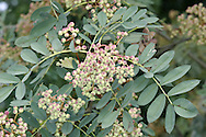 Hupeh Rowan Sorbus hupehensis (Rosaceae) HEIGHT to 18m <br /> Domed tree. Sometimes called Hubei Rowan S. glabrescens.<br /> LEAVES Pinnate with 11-17 pairs of leaflets. REPRODUCTIVE PARTS Fruits pink-tinged white. STATUS AND DISTRIBUTION Native of China, popular here in gardens.
