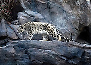 © Licensed to London News Pictures. 04/01/2013. NYC, USA .  A snow Leopard in Central Park Zoo. Photo credit : Stephen Simpson/LNP