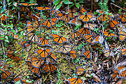Monarch Butterflies mass along a dry stream bed in the Sierra Pellon mountain at the Monarch Butterfly Biosphere Reserve in Sierra Pellon central Mexico in Michoacan State. Each year hundreds of millions Monarch butterflies mass migrate from the U.S. and Canada to Oyamel fir forests in the volcanic highlands of central Mexico. North American monarchs are the only butterflies that make such a massive journey—up to 3,000 miles (4,828 kilometers).