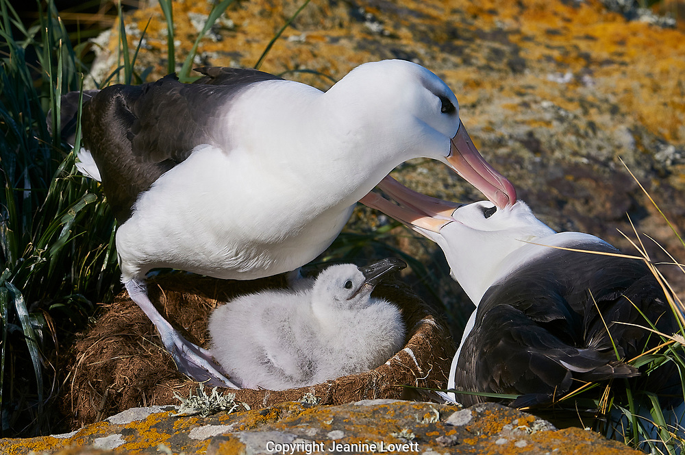 black browed chick sits in nest with two preening parents.
