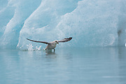 Northern Fulmer (Fulmras glacialis) in flight near blue glacier, Svalbard, Spitsbergen, Norway