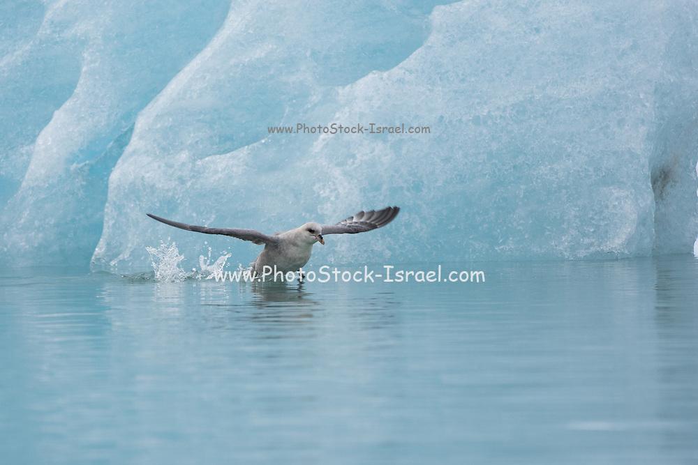 Northern Fulmer (Fulmras glacialis) in flight near blue glacier, Svalbard, Spitsbergen, Norway