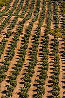 Olive trees, near the Gorafe Megalithic Park, Gorafe, Granada Province, Andalusia, Spain.