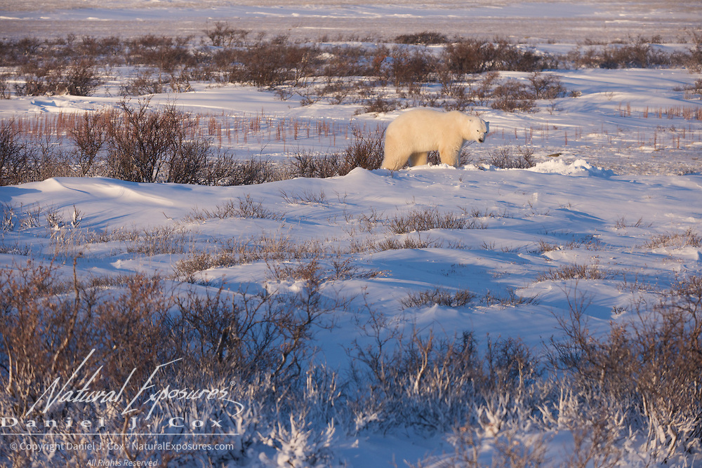 Polar bear, large male takes refuge in the willows near Cape Churchill, Hudson Bay, Manitoba.