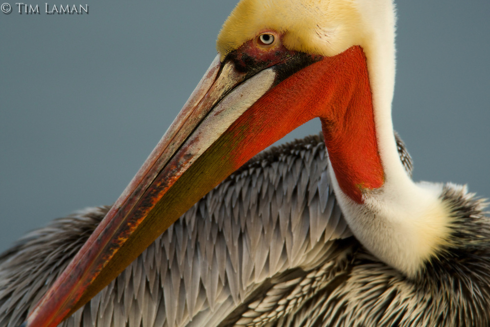 Brown Pelican (Pelecanus occidentalis), preening.