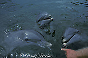 bottlenose dolphins, Tursiops truncatus, receive instructions from trainer, Dolphin Research Center, Grassy Key, Florida Keys, USA ( Gulf of Mexico )