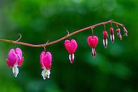 Bleeding hearts in Kodiak, Alaska garden