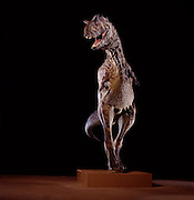 """Stephen Czerkas sculpted this Carnotaurus, now in the Natural History Museum of Los Angeles County.  At the Carnotaurus (""""meat-eating bull"""") excavation site in Argentina they discovered huge patches of fossilized skin impressions."""
