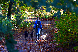 © Licensed to London News Pictures. 04/11/2013. Burnham, UK A woman walks dogs in the leaves. Autumn sunshine through the trees at Burnham Beeches, South Buckinghamshire on MONDAY 4TH NOVEMBER. The beeches covering 220 hectares is primarily noted for its ancient beech and oak pollards. Photo credit : Stephen Simpson/LNP