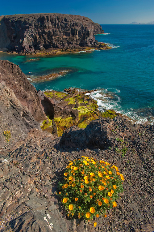 Senecio/chrysantemum sp. Papagayo beach in Lanzarote Island, Canary Islands, Spain.