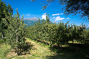 Apple orchard in Northern Italy at Val Vonosta, Vinschgau