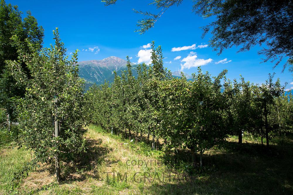 Apple orchard in Northern Italy at Val Vonosta, Vinschgau