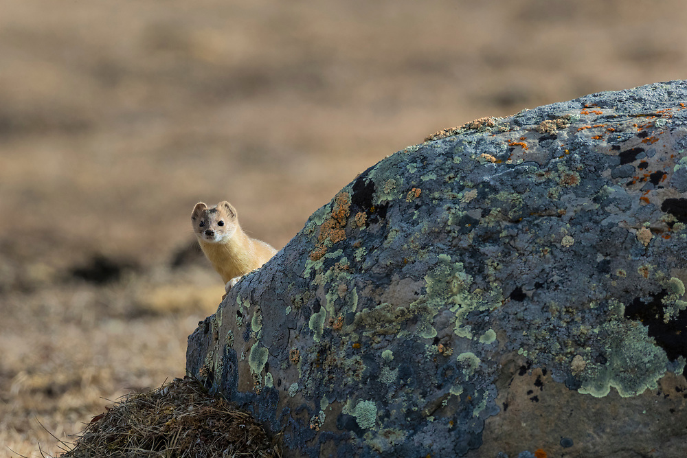 Mountain weasel, Mustela altaica, looking out from behind a stone, Xiang you, 香鼬, China, Sichuan Province, Garze Prefecture, Serxu County.