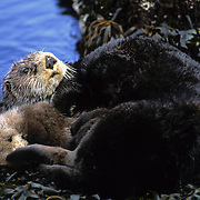 Sea Otter mother and baby resting on seaweed-coverd rocks in southwest Alaska.