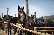 A maremmano horse with the typical saddleback