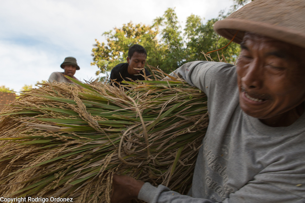 A local man unloads bundles of rice off a pickup truck in Wareng, Wonosari subdistrict, Gunung Kidul district, Yogyakarta Special Region, Indonesia. Rice is the most dominant crop and staple food in this area.