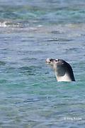 Hawaiian monk seal, Monachus schauinslandi, swimming off Kahaluu Beach Park, Kahalu'u Beach, Kailua Kona, Hawaii Island ( the Big Island ) Hawaiian Islands ( Central Pacific Ocean )
