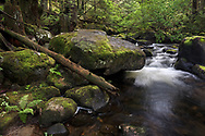 Large boulders in Rolley Creek are surrounded by Salmonberry plants, Vine Maples, and the Douglas fir, Western Hemlock, Western Red Cedar trees of the Coastal Western Hemlock biogeoclimatic zone.  Photographed at Rolley Lake Provincial Park in Mission, British Columbia, Canada.